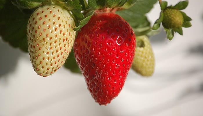 Comment cultiver des fraises à la maison
